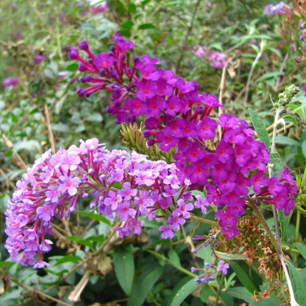 Buddleia Butterfly Bush Seeds Rare Flower Plant Seeds Home Garden Beautiful Garden