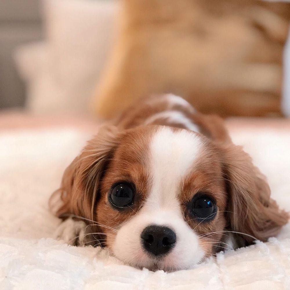 🔥New Arrival Only $19.99🔥King Charles Spaniel