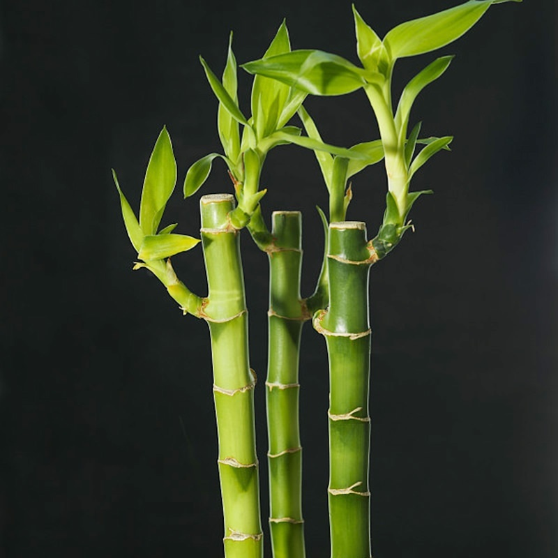 Lucky Bamboo Bonsai Small Potted Plants Plantas,Planting Simple for Home & Garden,20 PCS/Pack