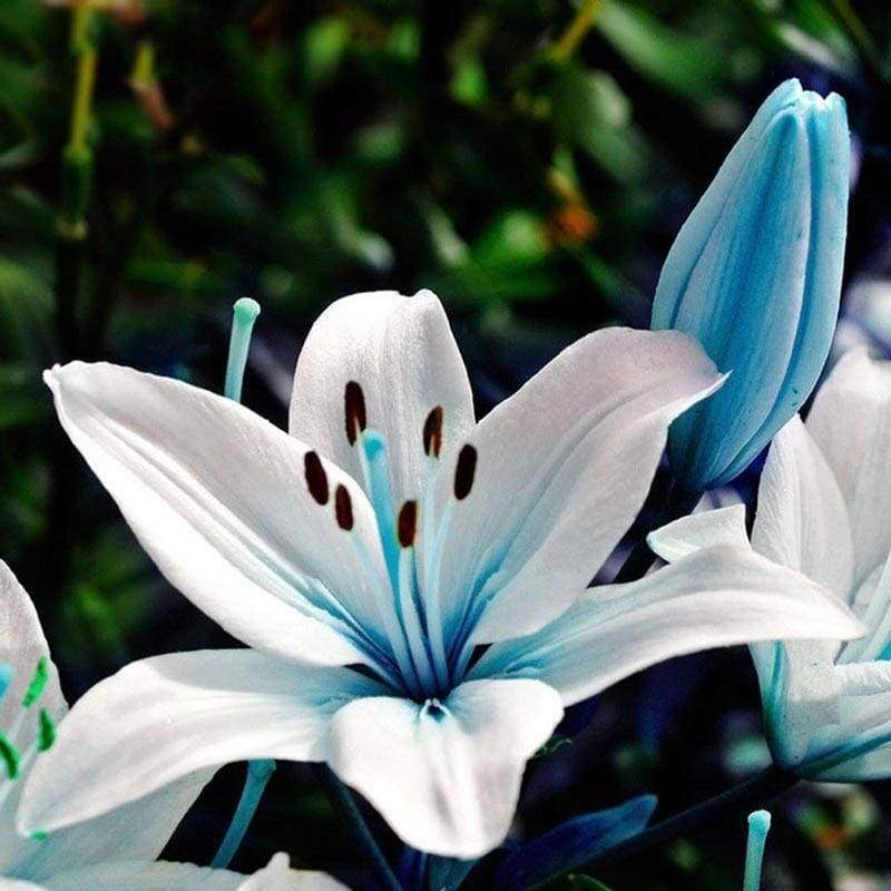 50Pcs/Bag Blue Rare Lily Bulbs Seeds Planting Lilium Perfume Flower Garden Home Bonsai Decor