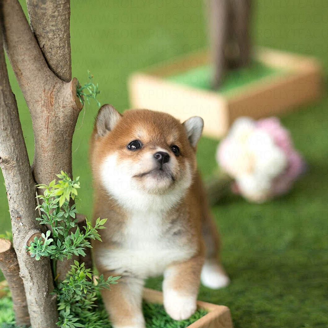 $19.99 Today Only🔥Realistic Shiba Inu ( Built-In Battery)