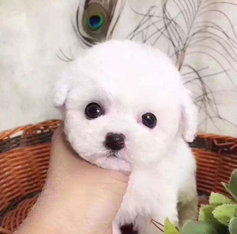 Realistic Bichon Frise Dog( Built-In Battery)
