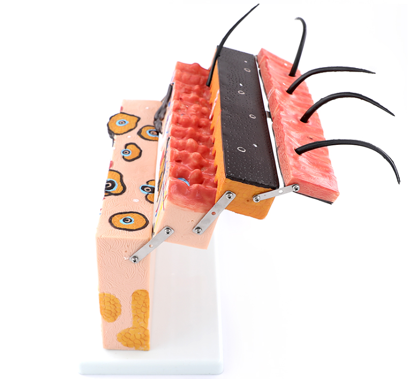 Enlarged Anatomical Model of Human Skin Tissue Structure【BUY 2 FREE SHIPPING】