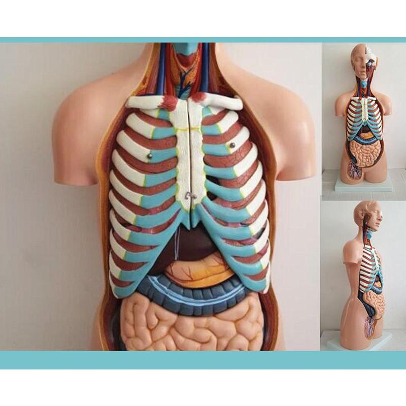 4D Anatomical Assembly Model of Human Organs (Including a Base)