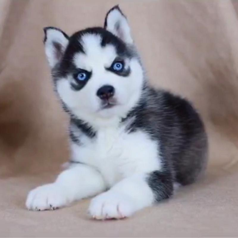 🔥 HOT SALE & Limited To 100 🔥Realistic Husky Dog Pomsky 🐕