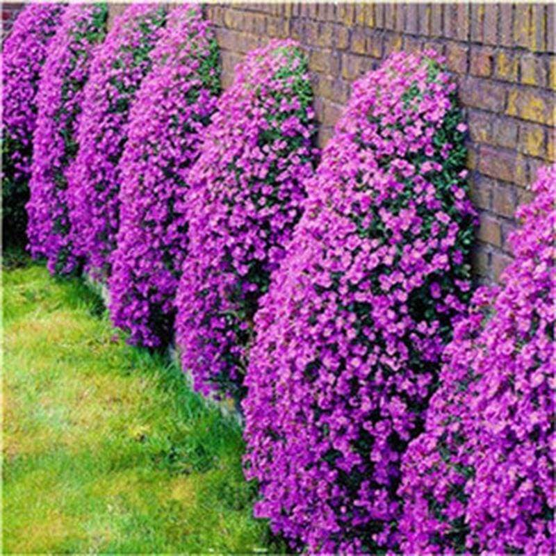 70 Pcs/Bag Creeping Thyme Bonsai Rare Color ROCK CRESS Plant Perennial Ground Cover Flower Natural Growth For Home Garden