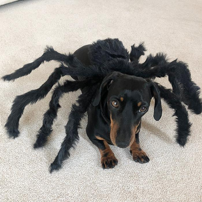 Pre-Sale!Halloween Pets Spider Costume!