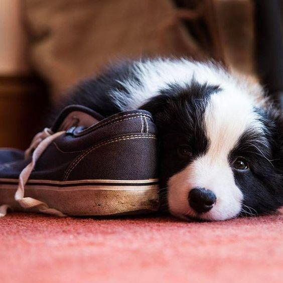🔥Realistic Border collie Puppy - Belly