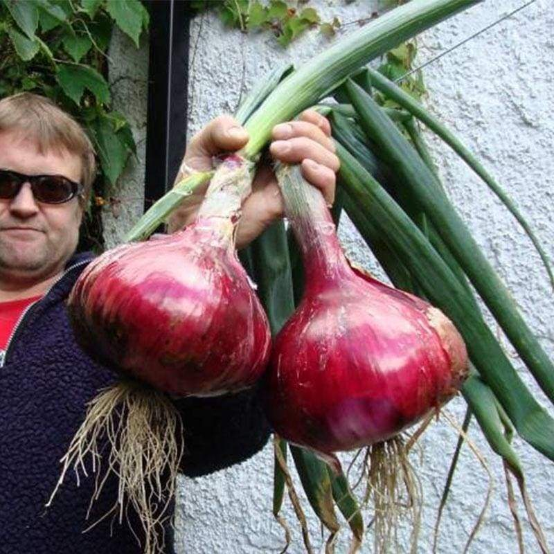 50 Pcs/100 Pcs Red / Purple / Yellow Giant Onions Seeds Vegetables Seeds
