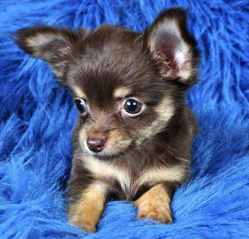 Realistic Cutest Chihuahua Puppies