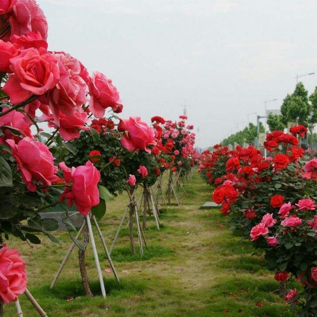 50pcs Giant Rose Sakura Cherry Blossom Tree Seeds Flower Tree Seeds Garden