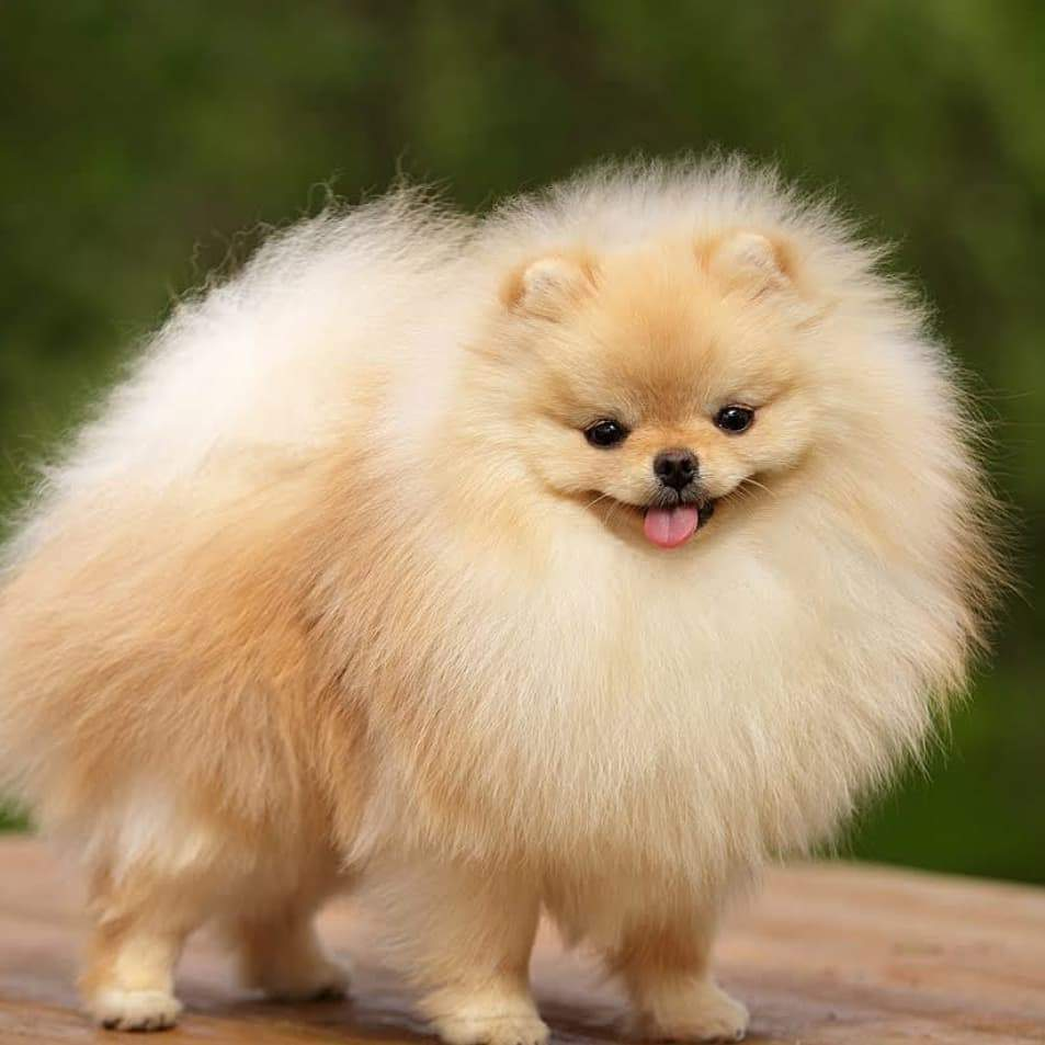🔥 HOT SALE & Limited to 100 🔥 Realistic Pomeranian