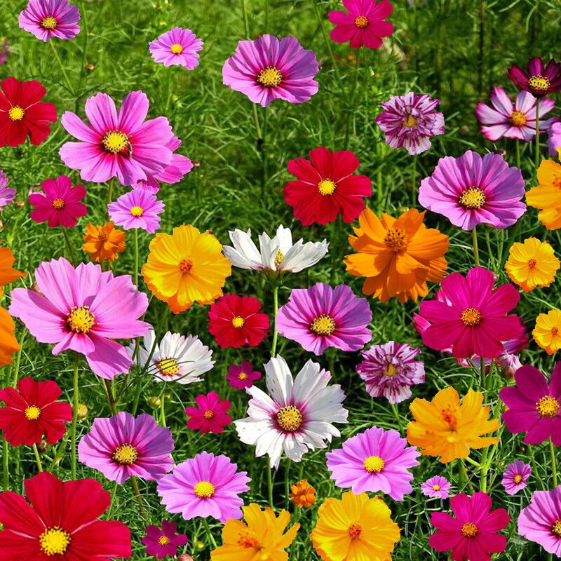 100/200PCSCold Resistant Perennial Wild Flower Combination Seeds Bloom All the Year Round Flower Seeds Are Easy to Be Planted in Courtyard and Live Outdoors