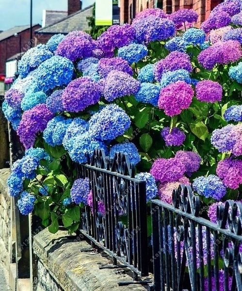 20 pcs/Pack Hydrangea Seed Bonsai Flower Seeds Hydrangea Perennial Garden Home
