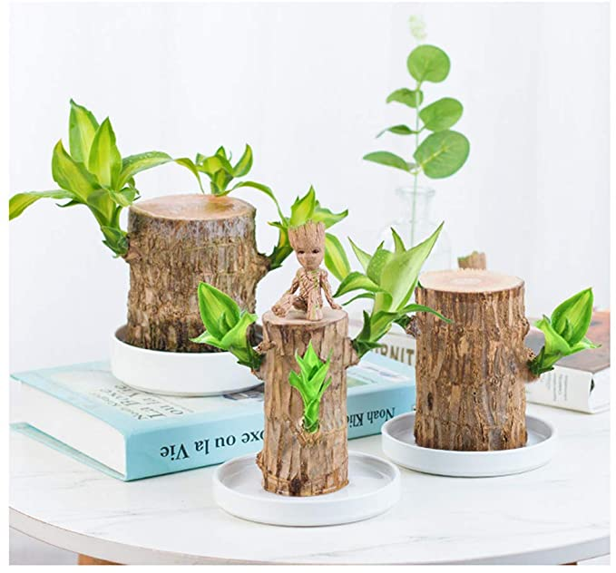Free Nutrient Solution!-Brazilwood Hydroponic Plants Groot Lucky Wood Potted 【Buy 2 Free Shipping】
