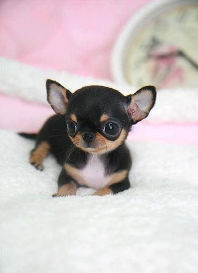 Realistic Realistic Cutest Chihuahua Puppies