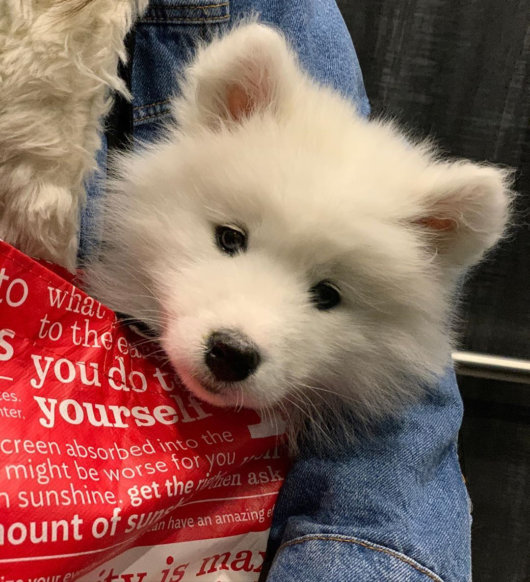 🔥Realistic Samoyed Dog Kisses