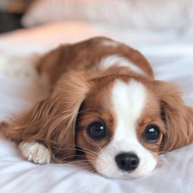 🔥HOT SALE🔥King Charles Spaniel( built-in battery)