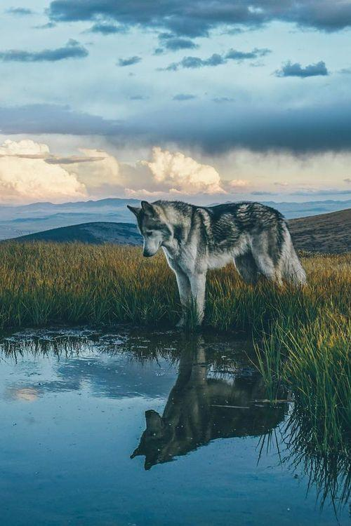 🔥HOT SALE🔥 Realistic wolf
