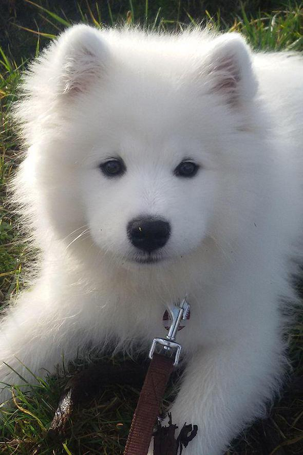 🔥 HOT SALE & Limited To 100 🔥Realistic Samoyed Dog