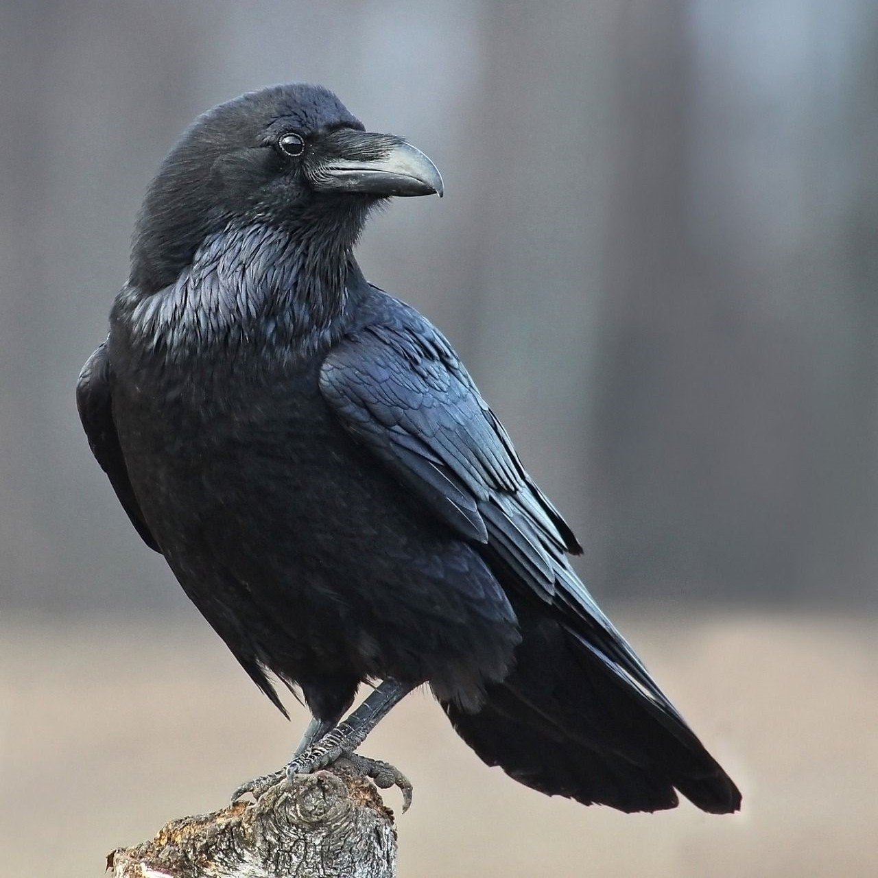🔥$19.99 Only Last 2 Days🔥Halloween Realistic Crow