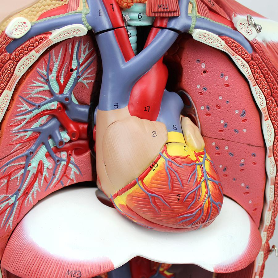 🏥Educational discount-4D Anatomical Assembly Model of Human Organs