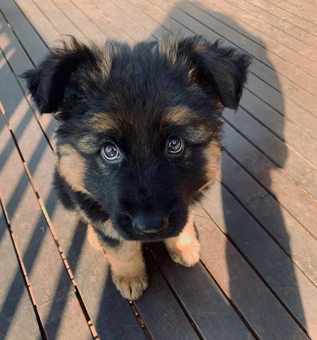 🔥 HOT SALE & Limited to 100 🔥 Realistic Shepherd Dog