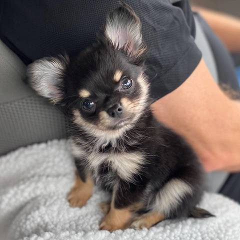 🔥 HOT SALE & Limited to 100 🔥Realistic Chihuahua