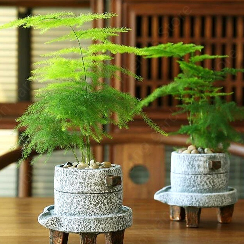 Hot Sales Asparagus Fern Seeds (Asparagus Setaceus) Mini Office Plants Clean The Air Small Bamboo Bonsai Setose Asparagus Plants  Potted Plant Seeds
