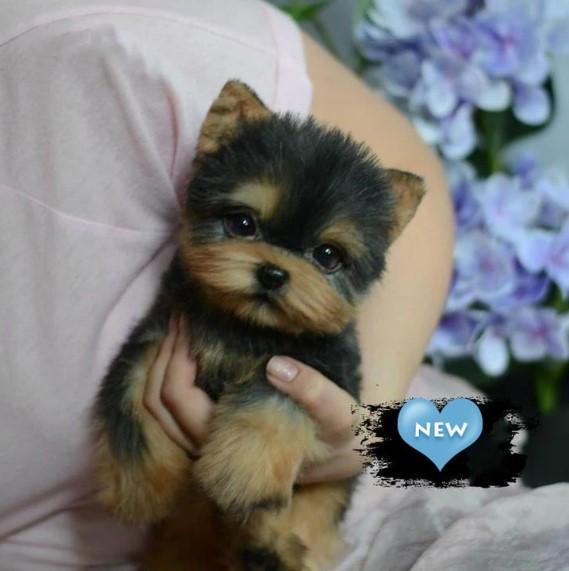 🔥 HOT SALE & Limited to 100 🔥Realistic Yorkie Dog Casey
