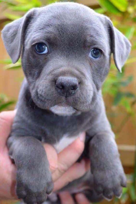 🔥Holiday Promotion 🔥Realistic staffy puppy